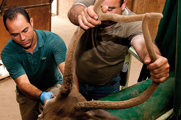 Ciervos con garantía sanitaria garantizada Finca Lagunes