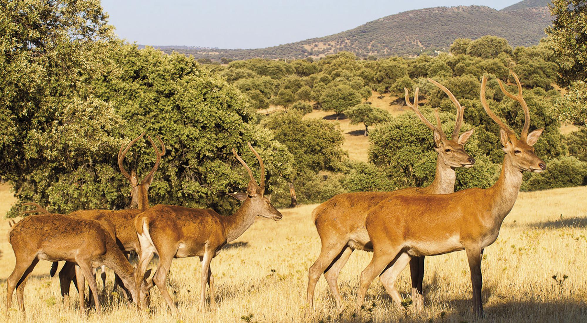 Carne de caza de ciervo ibérico